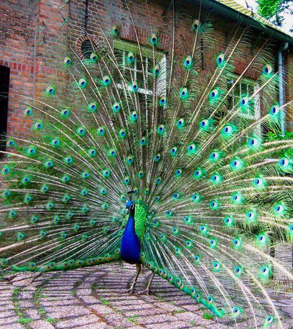 Noi il pavone e il cielo di roma santoiolo blog - Pagina colorazione pavone ...
